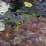 � Joseph Dougherty. All rights reserved.  Amphiprion ocellaris  Cuvier, 1830 Ocellaris Clownfish  At the reef crest, in association with a Bubble-tip anemone and a colony of corallimor ...