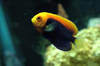 African Pygmy Flameback Angelfish Centropyge acanthops