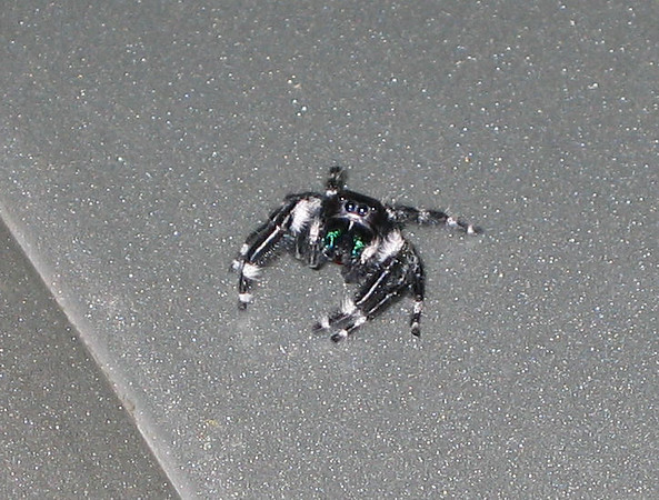 A male regal jumping spider (Phidippus regius) staring at me (183_8396)