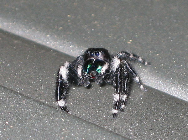 A male regal jumping spider (Phidippus regius) closely watching me as I snap a photo (184_8458)