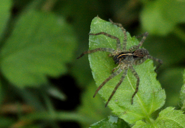 Wolf spider (Hogna sp.) standing on a leaf (2009_09_06_028837)