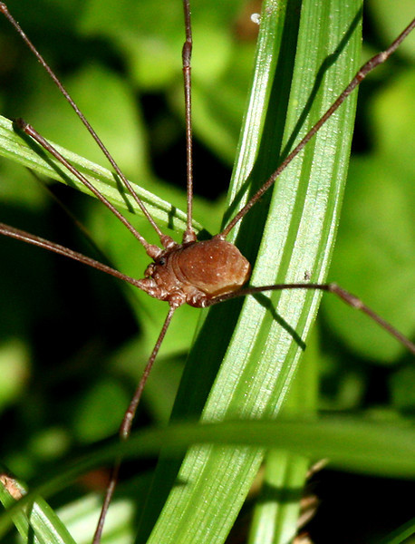 A harvestman (Leiobunum townsendi) walking through the grass (2009_10_03_030270)