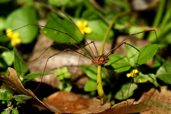 A harvestman (Leiobunum townsendi) walking through the grass (2009_10_03_030274)