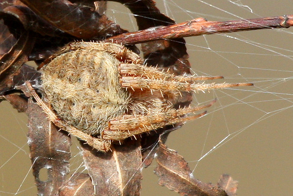 A female barn spider (Neoscona crucifera) resting on dead leaves (2009_11_28_042721)