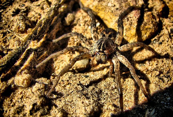 A female wolf spider (Hogna antelucana) standing in a sandy clearing (IMG_3511)