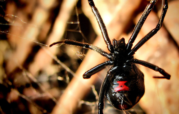 Close-up of a female southern black widow (Latrodectus mactans) hanging on her web (20120627_00734)