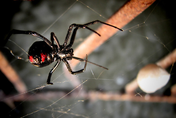 A female southern black widow (Latrodectus mactans) protecting her new egg sac (20120627_00707)