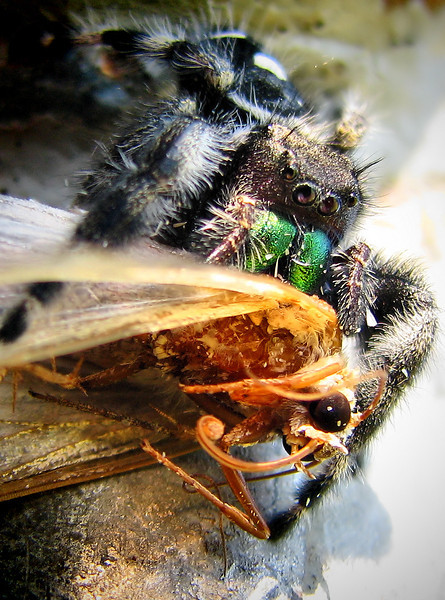 Close-up of a regal jumper (a.k.a. regal jumping spider; Phidippus regius) holding its moth prey (IMG_1417)