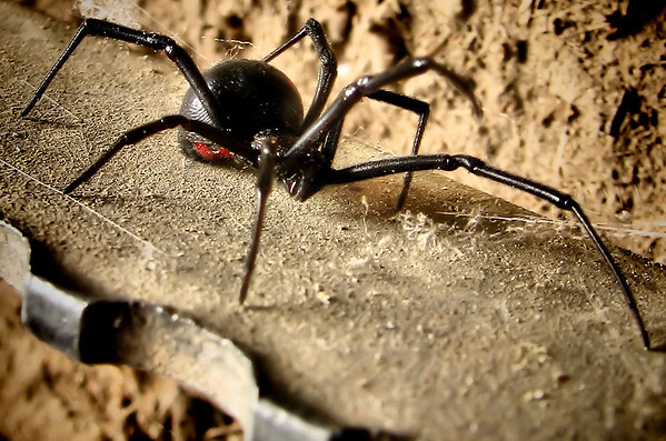 A female southern black widow (Latrodectus mactans) perched on a steel grate (20121012_04638)