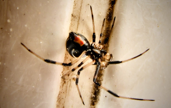 Underside of a male southern black widow (Latrodectus mactans) (IMG_2955)