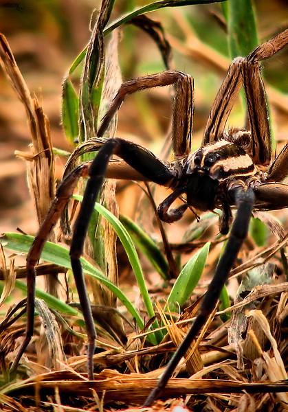 A male rabid wolf spider (Rabidosa rabida) lurking in sparse grass (IMG_0159)