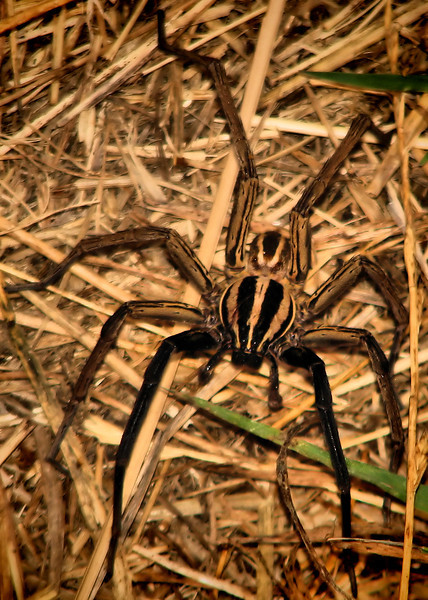 A male rabid wolf spider (Rabidosa rabida) seen from above (IMG_0138)