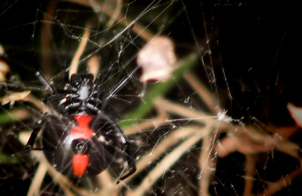 A female southern black widow (Latrodectus mactans) hanging inside her web (IMG_1297)