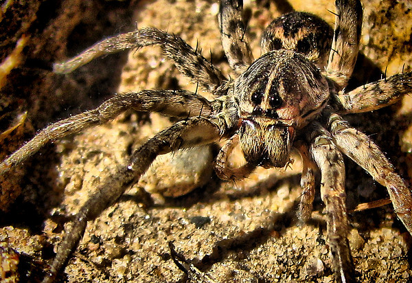 Close-up of a female wolf spider (Hogna antelucana) (IMG_3511_c)