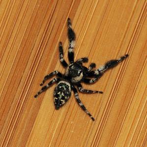 Phidippus audax (Jumping Spider)