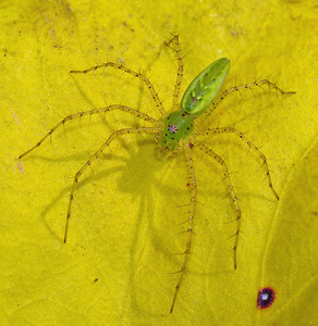 Peucetia viridans (Lynx Spider)