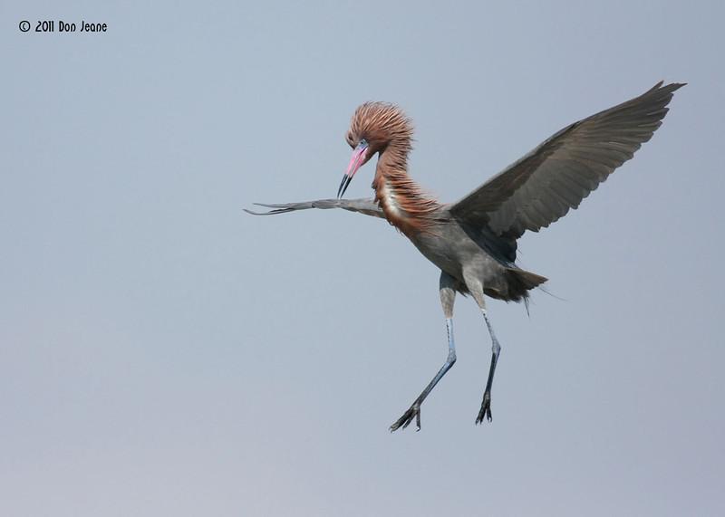 Reddish Egret, Rookery Island, 3/18/11.