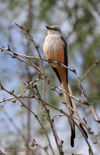 Scissor-tailed Flycatcher, Choke Canyon, 12/09/2006.