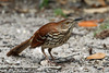 Wary Brown Thrasher, Goose Island State Park, 4/23/2013.