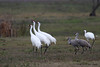Whooping Cranes & Sandhill Cranes, Lamar Beach near Goose Island (Big Tree) State Park, Feb 10, 2012. Note the size difference.