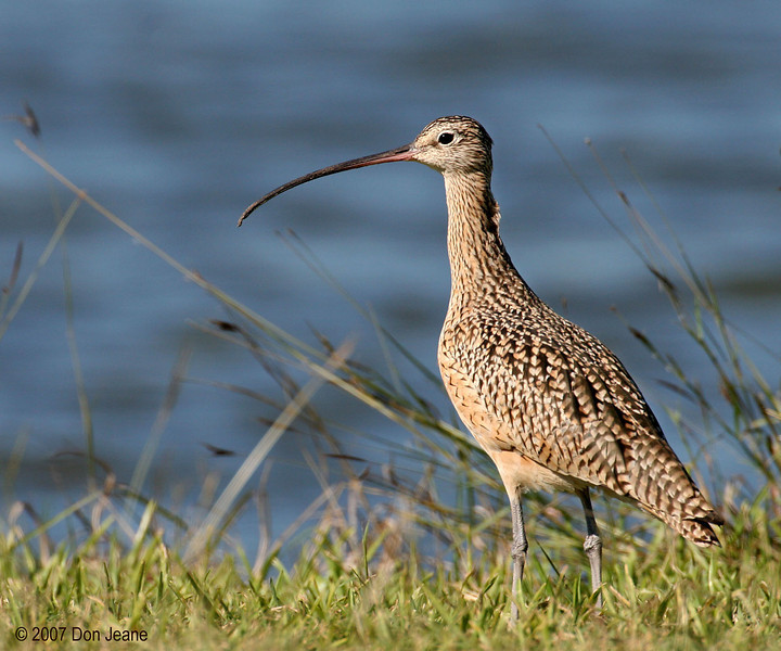 Long-billed Curlew, Lake Corpus Christi State Park. 11/26/07.
