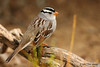 White-crowned Sparrow, Falcon St Park, 11/29/2007.