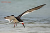 Black Skimmer, Rockport Beach Park, 6/2/2010.