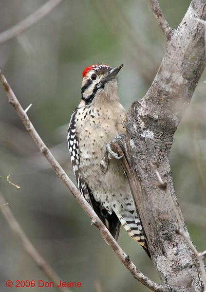 Ladder-backed Woodpecker, Choke Canyon, 12/09/2006.