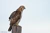 Red-tailed Hawk,  Lamar Beach near Goose Island (Big Tree) State Park, Feb 10, 2012.