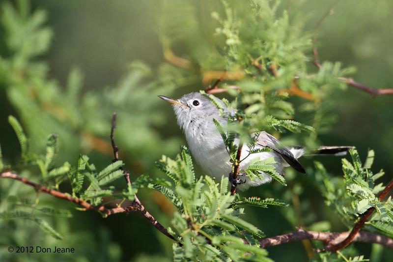 Blue-Gray Gnatcatcher, Choke Canyon SP, 11/07/12.