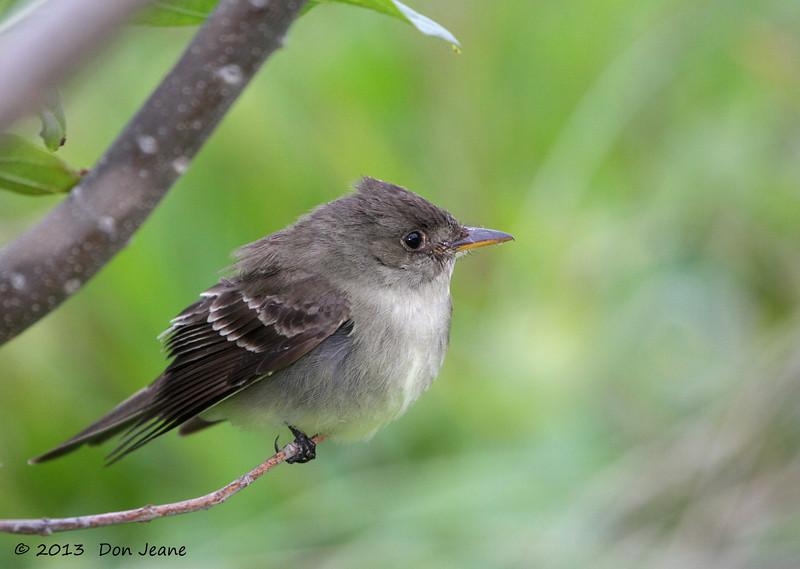 Eastern Wood-Pewee, Birding Center, Port Aransas, 04/25/2013.