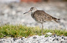 Willet, Goose Island State Park, 04/17/2017.