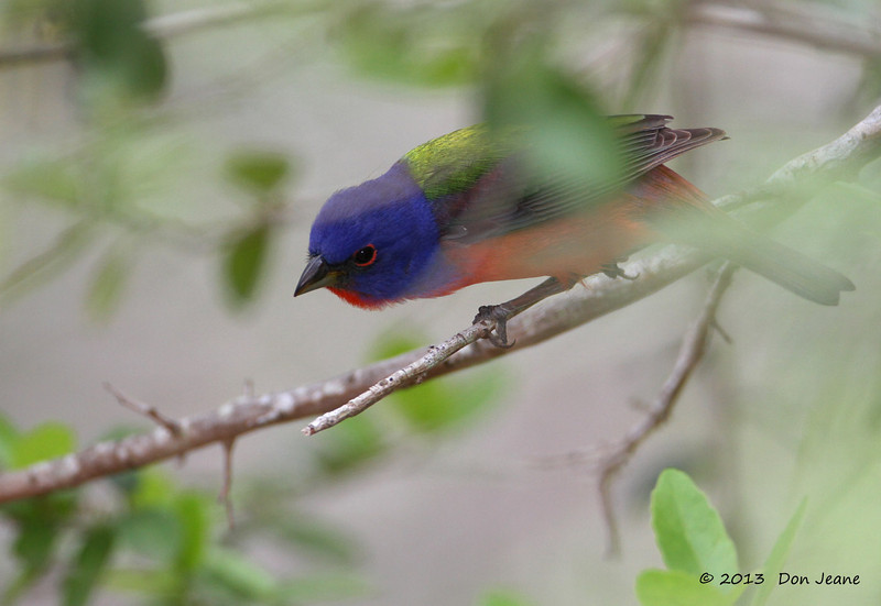Male Painted Bunting, Goose Island State Park, 4/23/2013.