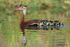 Black Bellied Whistling Duck with ducklings. Mission Valley, Victoria County, 08/21/09.