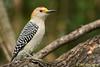 Golden-fronted Woodpecker, Salineno. 12/03/07.