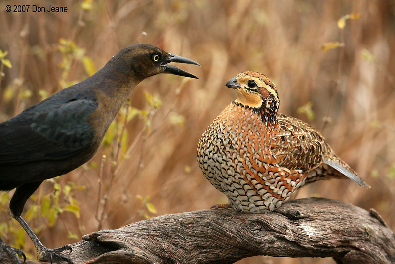 Confrontation between Great-tailed Grackle and Bobwhite Quail, Falcon St Park, 11/29/2007.