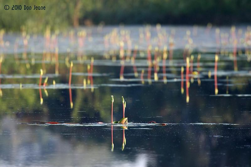 Water Lilies, Jones Lake, Aransas NWR, 10/09/10.