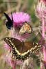 Palamedes Swallowtail, Monarch, Pipevine Swallowtail / Purple Thistle, Aransas NWR, 3/30/09.