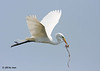 Great Egret, Rookery Island, 3/18/11.