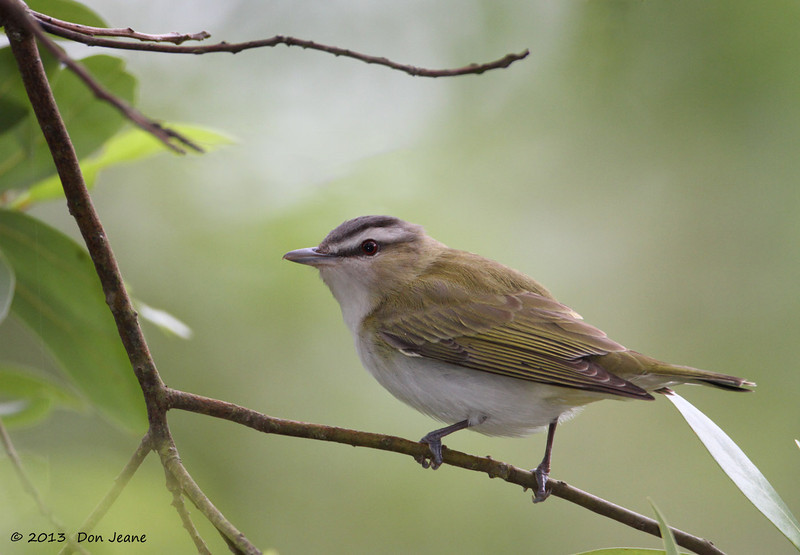 Red-eyed Vireo, Goose Island State Park, 04/26/2013.