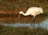 Whooping Crane, Intracoastal Waterway, Mar 4, 2012.