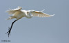 Great Egret, Rookery Island, 3/18/11.
