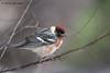 Bay-breasted Warbler, Paradise Pond, Port Aransas, 04/25/2013.