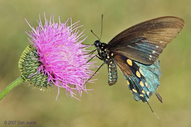 Pipevine Swallowtail, Choke Canyon St Park, 12/04/2007.