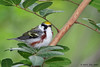 Chestnut-sided Warbler, Paradise Pond, Port Aransas, 04/24/2013.