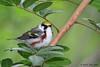 Chestnut-sided Warbler, Paradise Pond, Port Aransas, 04/24/2013.