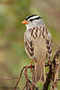 White-crowned Sparrow, Falcon St Park, 11/30/2007.