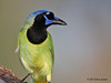 Green Jay, Choke Canyon SP, 11/05/12.