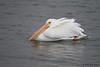 White Pelican,  Goose Island State Park, Feb 10, 2012.