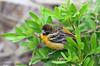 Tired immature Baltimore Oriole, Birding Center, Port Aransas, 04/25/2013.